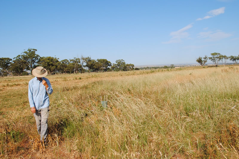Irene Cook in direct seeded native grass section 2012