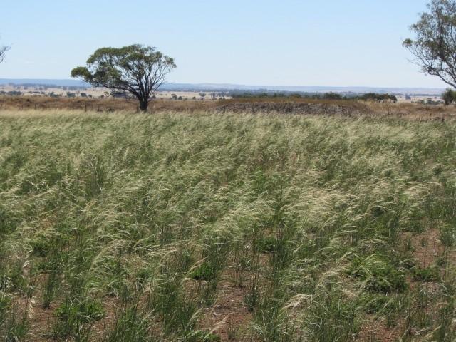Austrostipa scabra (Speargrass) flourishing at Pinkerton Link February 2013