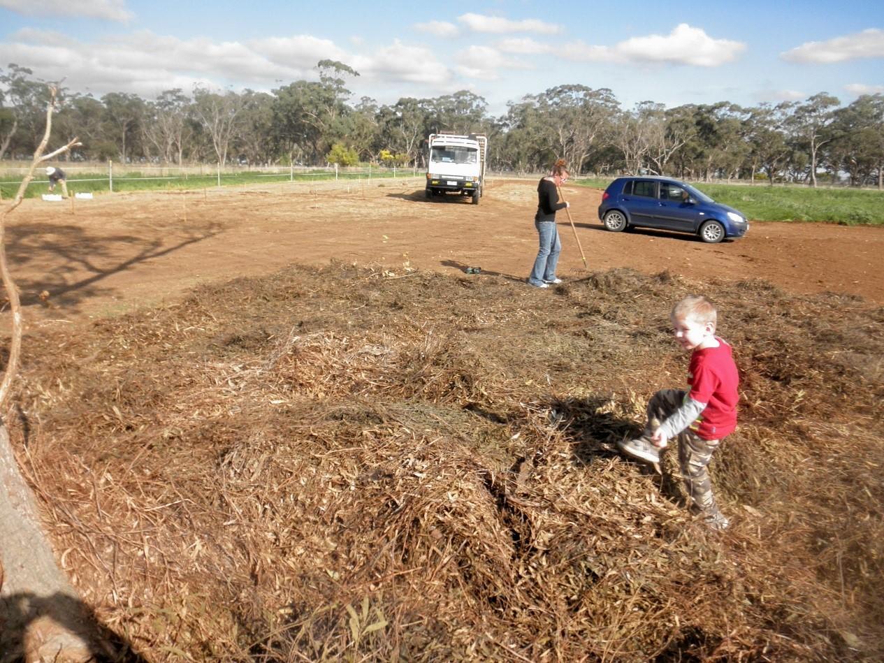 Spreading eucalyptus mulch around remnant Grey Box tree prior to planting