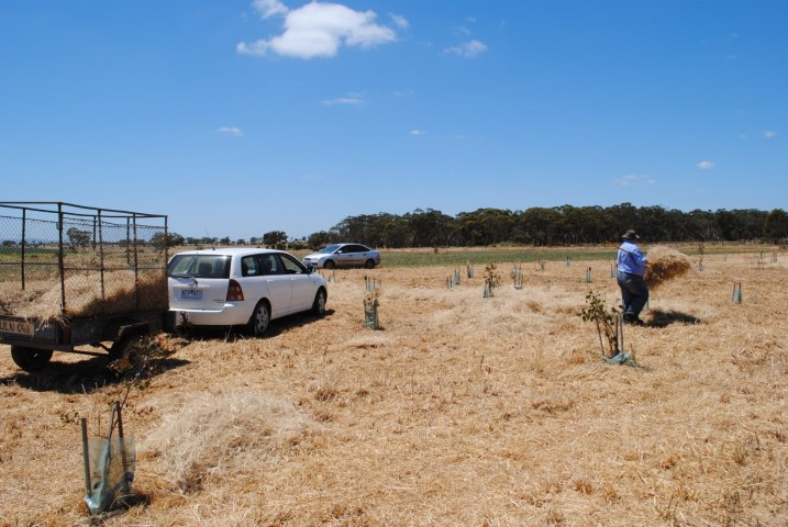 Spreading native Themeda and Danthonia hay at Pinkerton Link creating 'islands'