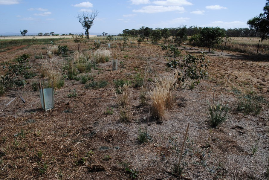 2013 Native grasses, herbs and Grey-Box trees