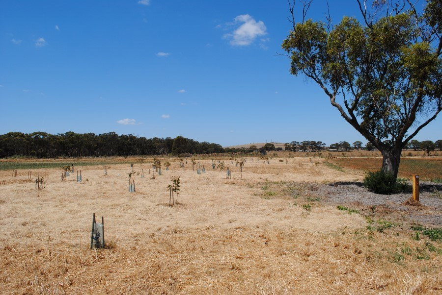 2012 View east towards Mt. Cottrell showing native grass mulch 'island'