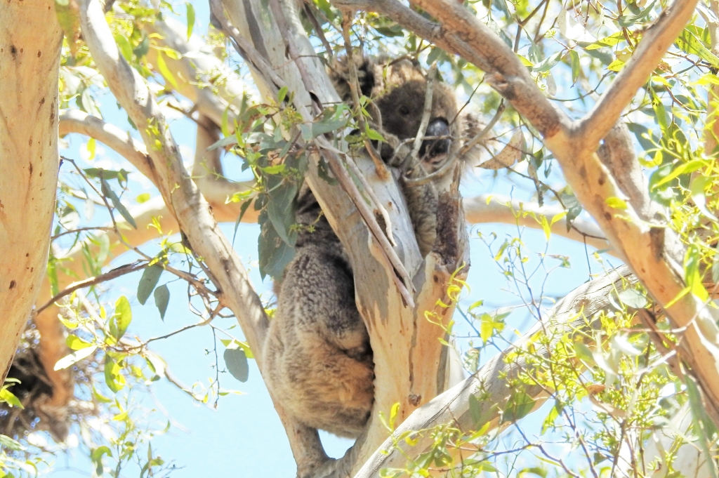 Koala in Pinkerton Forest 6Jan 2019