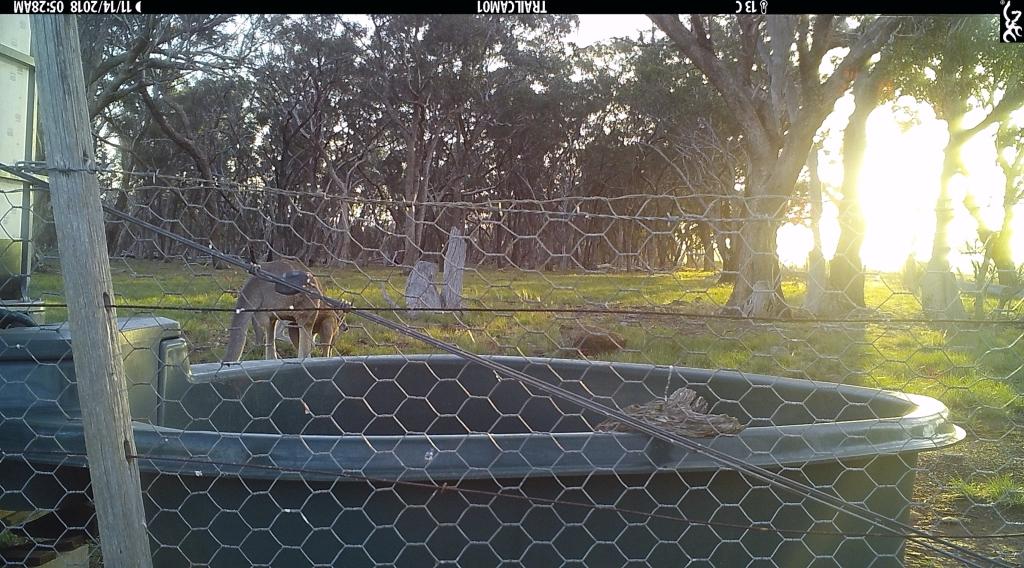 Kangaroo-at-sunrise-2ed.jpg
