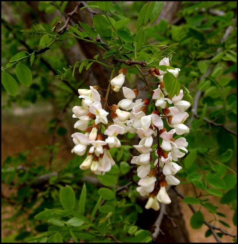 Robinia flowers photographed at Pinkerton homestead